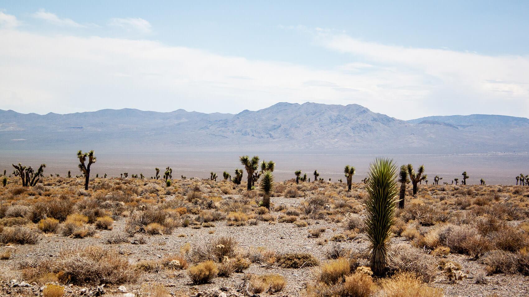 Joshua trees in the Arizona Desert