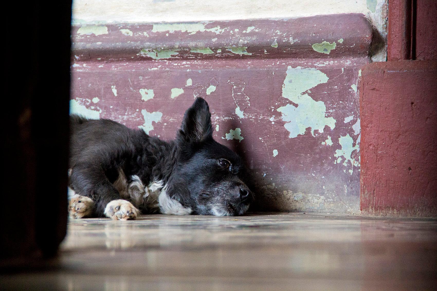 Havana doggy